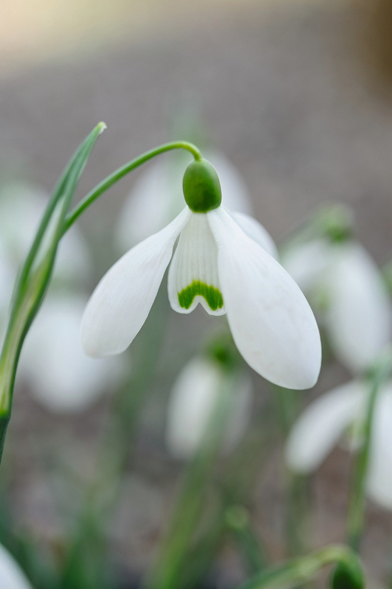 Irish snowdrops