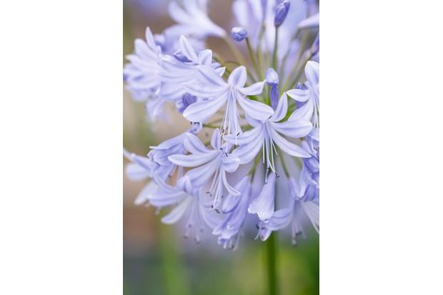 Agapanthus 'Lavender Haze'