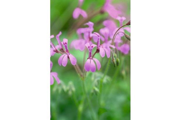 Pelargonium arbontifolium