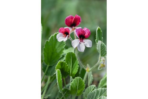 Pelargonium 'Splendide'