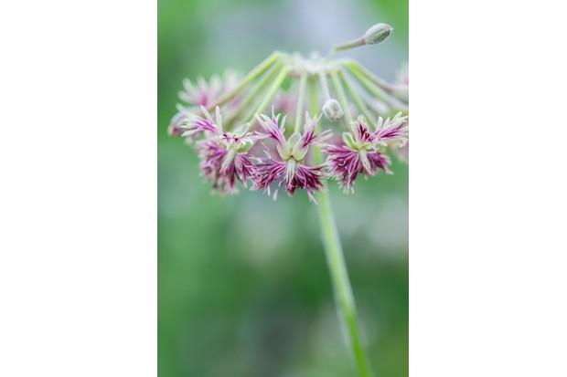Pelargonium caffrum