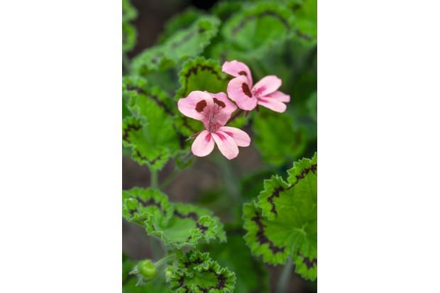 Pelargonium alpinum