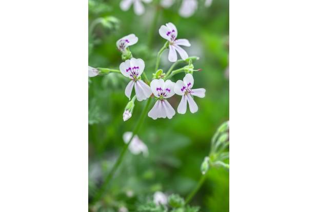 Pelargonium 'Blandfordianum album'