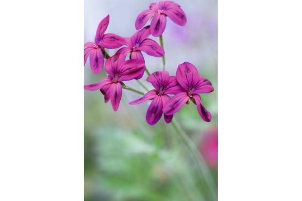 Pelargonium 'Shottii'