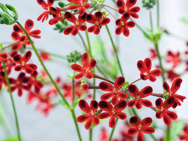Species Pelargoniums For Scented Foliage And Delicate Flowers