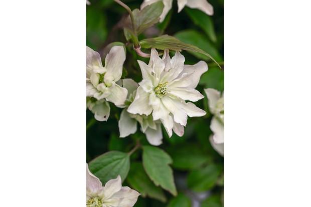 Clematis montana group 'Primrose Star'