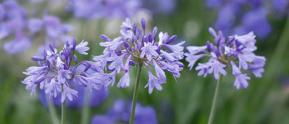 The Best Agapanthus Gardens Illustrated