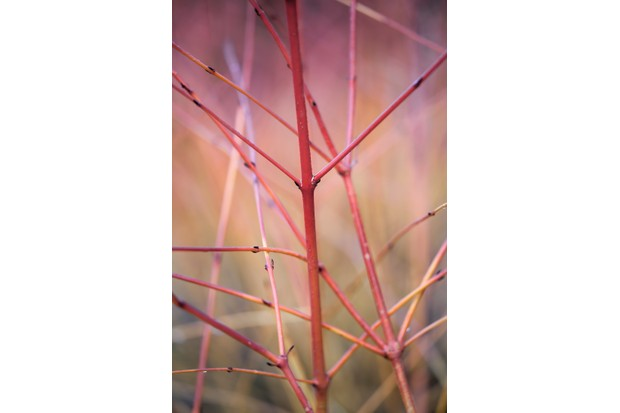 Cornus sanguinea 'Anny's Winter Orange'