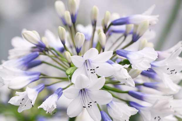 Agapanthus For The Garden The Best Types To Grow Gardens