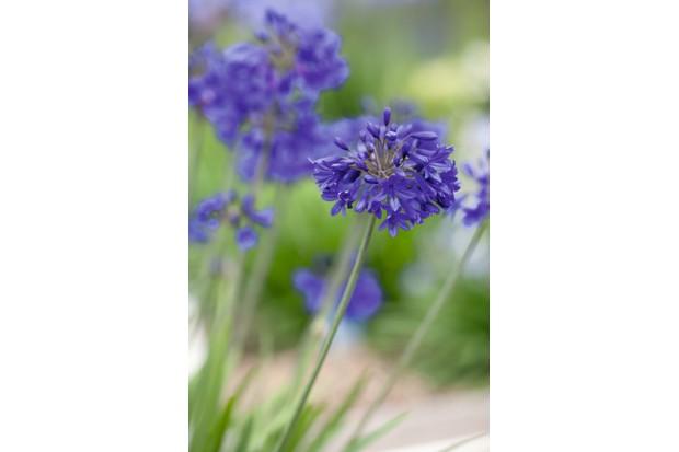 Agapanthus 'Flower of Love'