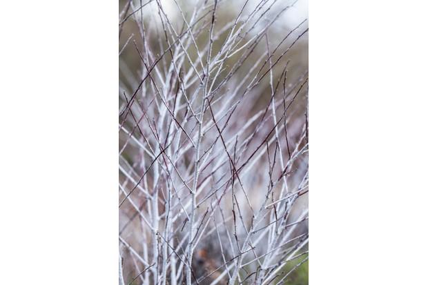 Rubus thibetanus in winter