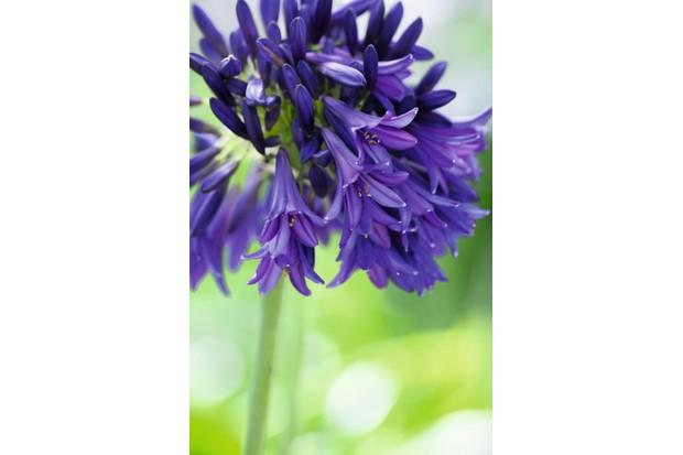 Agapanthus 'Purple Emperor'