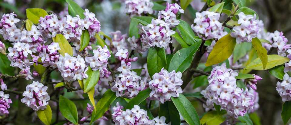 Choosing The Best Daphne For Year Round Colour And Scent Gardens