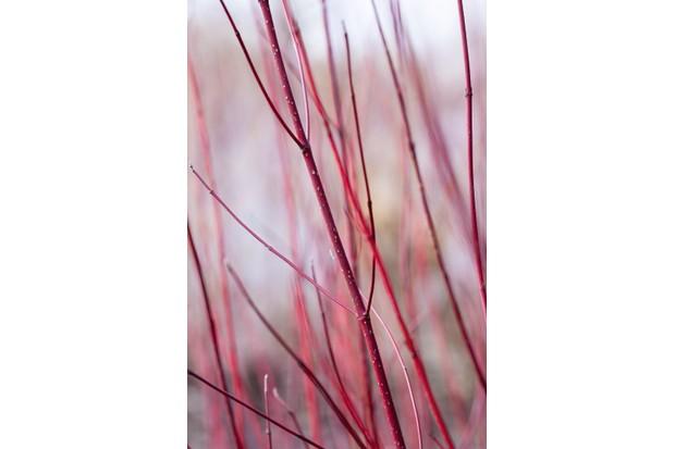 Cornus alba 'Baton Rouge'