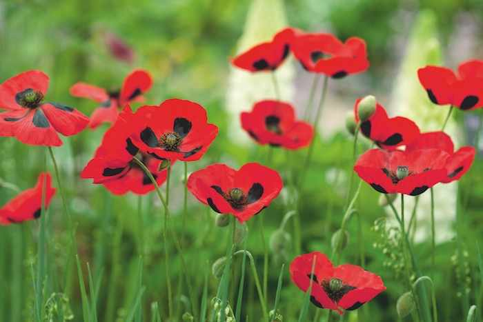 Photograph of poppies and find out facts about them