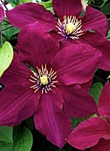 A photo of a clematis called Rosemoor