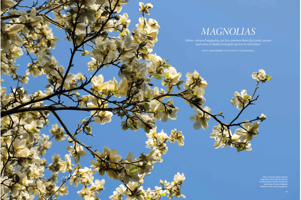 The Best Yellow Magnolias For Gardens Of All Sizes Gardens Illustrated
