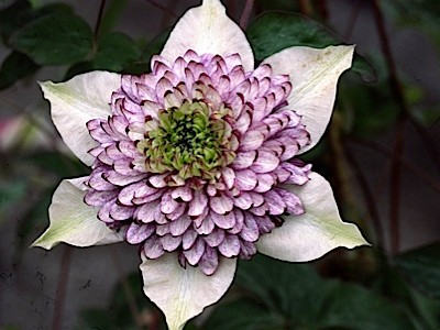 A photo of a clematis called Viennetta