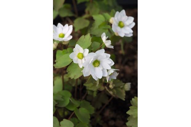Anemonella thalictroides 'Snowflake'