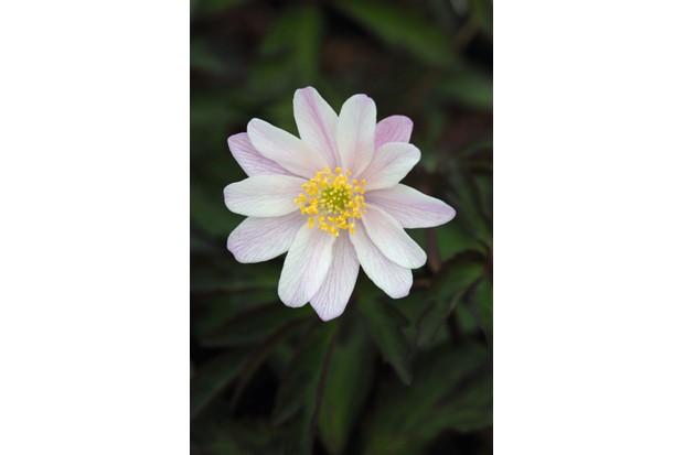 Anemone nemorosa 'Evelyn Meadows'