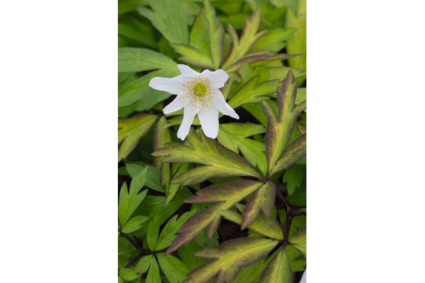 Anemone nemorosa 'Glynock Gold'
