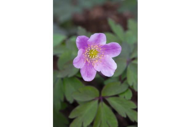 Anemone nemorosa 'Bill Baker's Pink'
