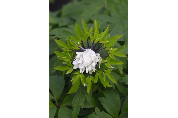 Anemone nemorosa 'Bracteata Plenifora'