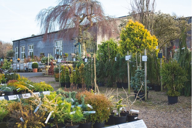 Lime Cross Nursery inHerstmonceux, East Sussex offers an extensive range of conifers.