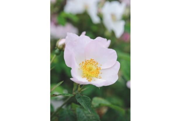 Wild rose R. x richardii
