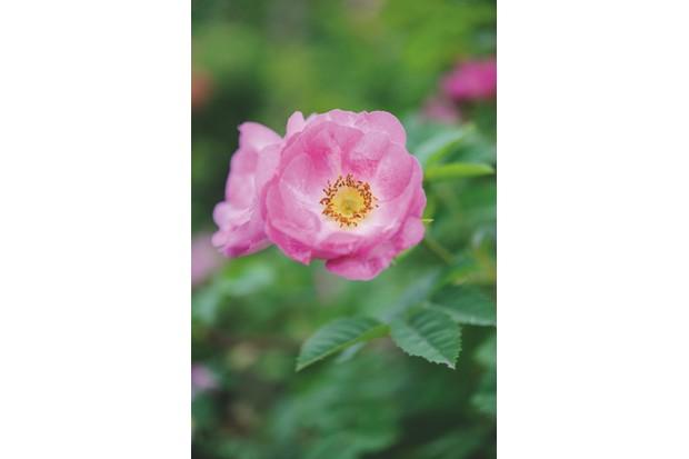 Wild rose Rosa 'Janet's Pride'