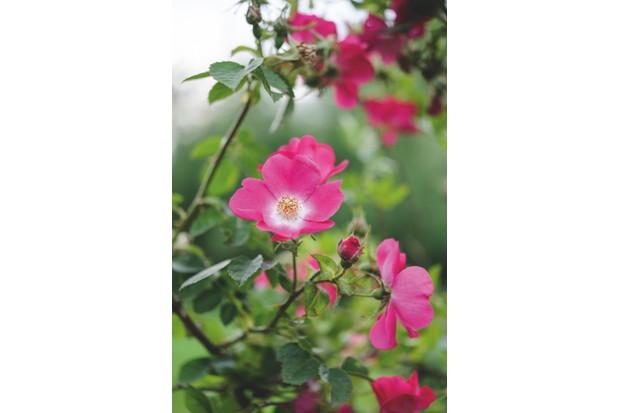 Rosa 'Flora McIvor'