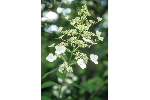 Hydrangea Paniculata 'Kyushu' is an upright deciduous shrub with slightly glossy ovate leaves and creamy-white sterile florets