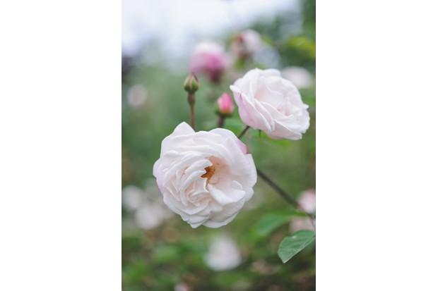 Wild roses Rosa 'Splendens'