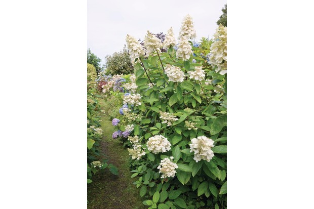 Hydrangea paniculata 'Pee Wee' is a large shrub with big, compact heads of sterile and fertile florets, opening white then flushing pink.