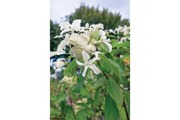 Hydrangea paniculata 'Le Vasterival' is an unusual cultivar with open cones of white, fertile flowers overlaid with large, starry-white sterile florets