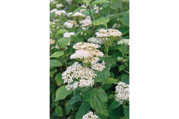 H. hirta is an nusual hydrangea with nettle-like leaves and heads of tiny, white to purple-blue, fertile florets.