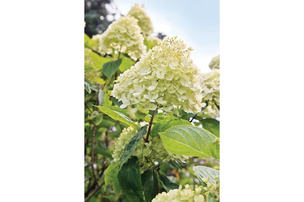 Hydrangea paniculata 'Limelight' has is an upright variation with large conical heads of sterile florets in soft, lime-green, becoming white and eventually green flushed pink.