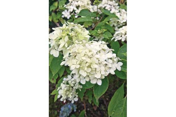Hydrangea paniculata 'Phantom' is strong with upright stems bearing large heads of mostly white, sterile florets.