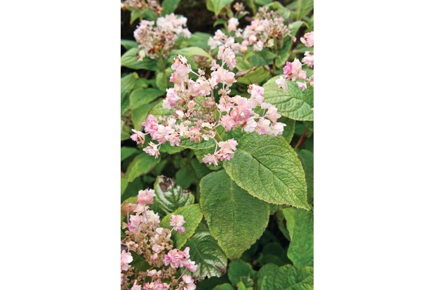 Hydrangea involucrata 'Hortensis' is a lovely, low-growing shrub with branched stems and soft-green leaves with loose heads of pinkish, fertile florets and double creamy-pink,