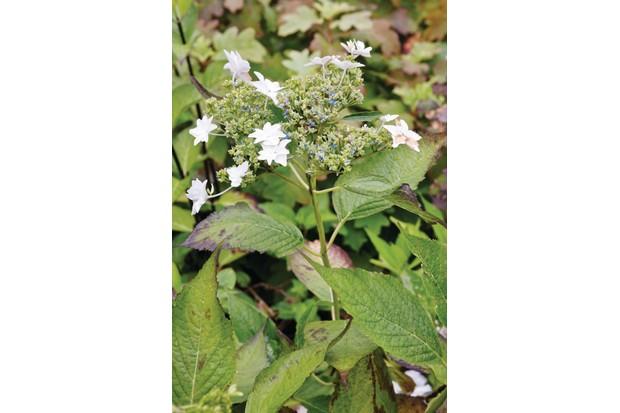 Hydrangea serrata 'Fuji-no-taki' is a dainty lacecap hydrangea with white, double, fertile and sterile florets