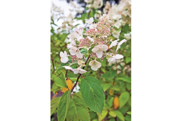 Hydrangea paniculata 'Greenspire' has upright stems carrying lacy cones of tiny, fertile flowers studded with large, sterile ones, green at first then becoming pink