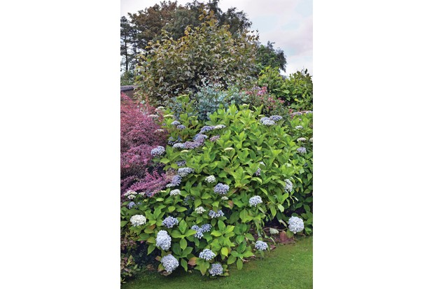 Hydrangea macrophylla 'Ayesha' has domed heads of thick, sepal, lilac-like flowers varying from mauve-pink to sky blue.