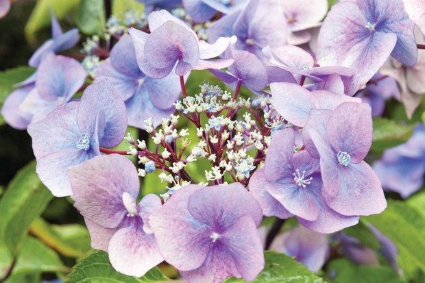 Hydrangea macrophylla 'Zorro' has purple-black upright stems with widely spaced, dark-green leaves.