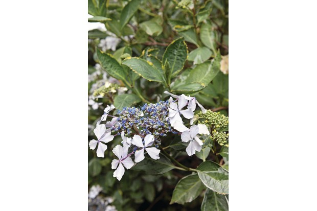 H. macrophylla 'Quadricolor' is an attractive shrub with variegated foliage; the leaves edged with pale-green, white and soft yellow with pale lilac-pink or ice blue lacecap heads