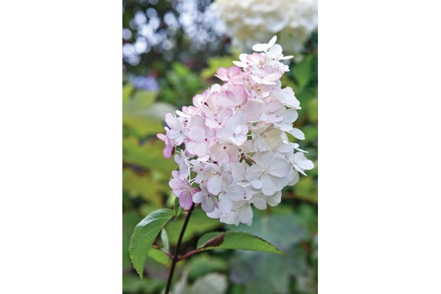 Hydrangea paniculata Vanille Fraise (= 'renhy') has large flower heads of sterile florets which are loose and spreading and creamy-white turning pink