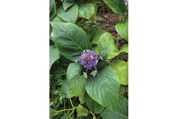 Hydrangea involucrata 'Multiplex' has large, hairy, dark-green leaves and domed heads of pink to purple-blue, fertile flowers surrounded by double, white-pink, sterile florets.