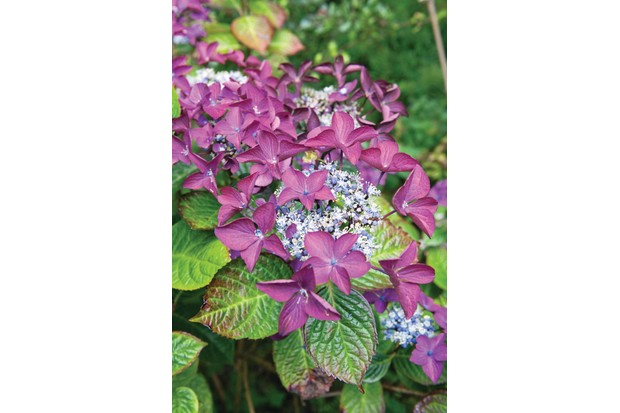 Hydrangea macrophylla 'Rotschwanz' is a striking lacecap hydrangea with dark-green leaves flushed red.