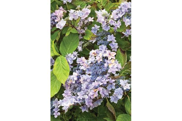 Hydrangea macrophylla 'Jogasaki' has dainty, double florets carried around a cluster of fertile florets.