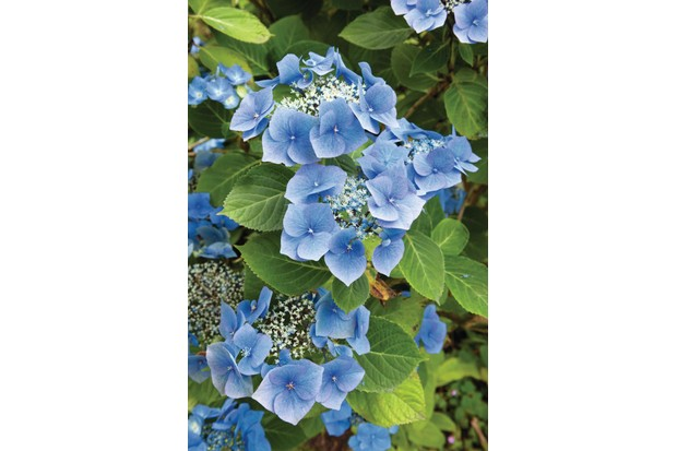 Hydrangea macrophylla 'Blaumeise' has large and bold flower heads dominated by dense rings of large, sterile florets that vary from lilac-purple to deep blue.
