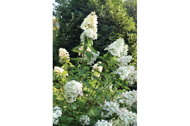 Tall and strong, Hydrangea Paniculata 'Unique' has large round cones of mostly sterile florets, creamy-white flushing purple-pink, then green.